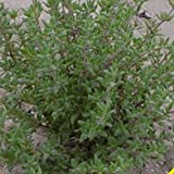 Everwilde Farms - 1000 Common Thyme Herb Seeds - Gold Vault Jumbo Seed Packet