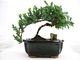 9GreenBox - Japaness Juniper Bonsai Tree w/ Bonsai FERTILIZER