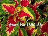 2016新!100 /袋コリウスの種子、美しい盆栽。さまざまな色