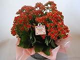 母の日 花鉢 カランコエ  ( オレンジ ) 【鉢 鉢植え 鉢花 】