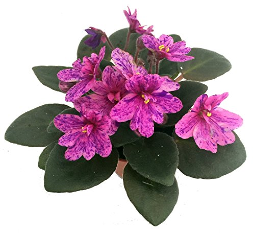 miniature-african-violet-1-plant-2-pot-great-for-terrariums-fairy-gardens