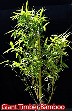 Tropical Plants - Bamboo