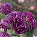 バラ苗 ミステリューズ 国産大苗ドリュオリジナル角鉢6号 返り咲き中輪 紫系 フレンチローズ(ドリュ)