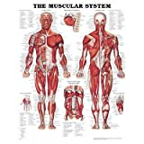 The Muscular System Anatomical Chart Poster Print - 20x26