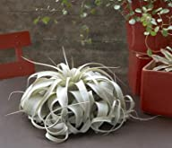 Large Air Plants – Large Xerographica…
