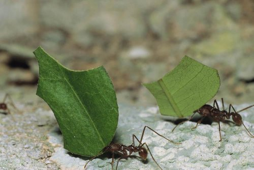 A Close View Of Leaf-Cutter Ants Toting Leaf Pieces To Their Nest Wall Mural - 24 Inches W X 16 Inches H - Peel And Stick Removable Graphic front-785432