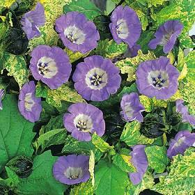 Buy Organic Ebony Shoo-Fly – Nicandra – 150 Seeds – Herb – FREE SHIPPING ON ADDITIONAL HIRTS SEEDS ORDERED & PAID WITH ONE PAYMENT!
