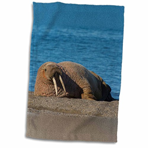 3dRose Danita Delimont - Walrus - Norway. Svalbard. Atlantic walrus lazing on the beach. - 12x18 Towel (twl_227765_1)