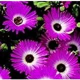Mesembryanthemum Gelato Deep Pink- 2500 Seeds