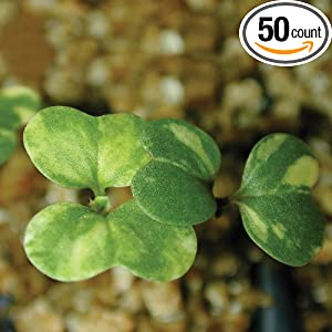 Amazon.com: Wisconsin Fast Plants Variegated Seed, Pack of