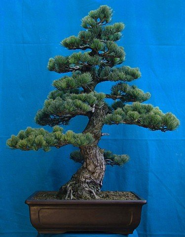 Buy Japanese White Pine 15 Seeds – Bonsai – FREE SHIPPING ON ADDITIONAL HIRTS SEEDS ORDERED AND PAID WITH ONE PAYMENT