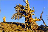 Poster 60 x 40 cm: An ancient bristlecone pine by Michael S. Lewis / National Geographic - high quality art print, new art poster