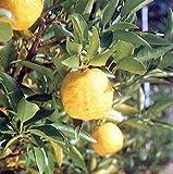 柑橘:花柚・一才柚子(ハナユ・イッサイユズ)5号ポット
