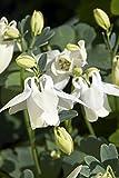 RP Seeds Aquilegia flabellata White Angel Dwarf Columbine 25 seeds