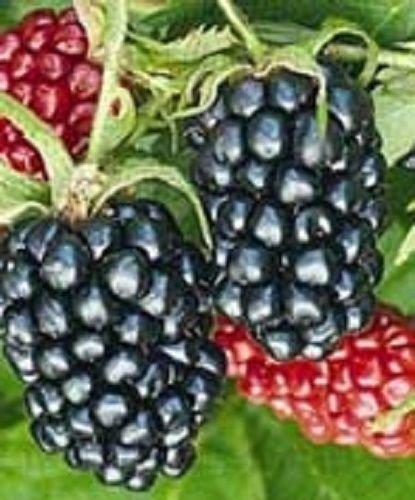 Ouachita Blackberry Bush Live Plant New Rubus (Berry Bush compare prices)