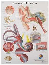 3B Scientific VR0243UU Glossy Paper Das Menschliche Ohr Anatomical Chart (Human Ear Anatomical Chart, German), Poster Size 20\