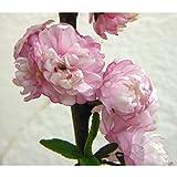 ニワザクラ(庭桜):赤(ピンク)花4.5号ポット[八重の可憐な花を咲かせる低木]