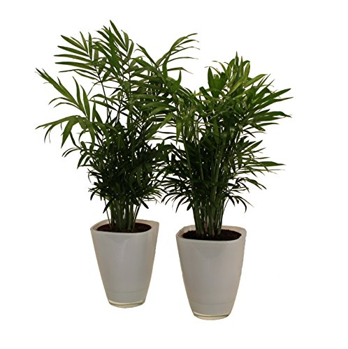 pflanzenservice-891130-zimmerpalmen-duo-mit-dekotopf-weiss