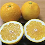 【訳あり】河内晩柑(美生柑・宇和ゴールド) 約7.5kg【愛媛県産】和製グレープフルーツ