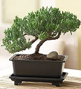 Green mound juniper bonsai medium 1 800 for 1800 flowers bonsai
