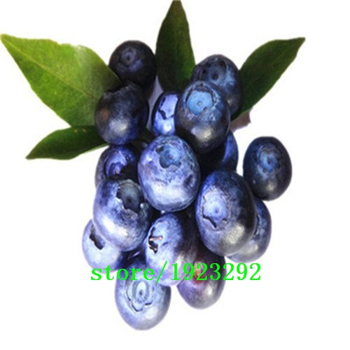 big-promotion-un-pack-100-pcs-blueberry-arbre-graine-fruit-myrtille-semences-pot-bonsai-graines