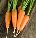Search : Carrot Danvers DGS30010A (Orange) 500 Organic Heirloom Seeds by David's Garden Seeds