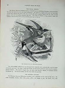 Civetta Splendida della Sun-Gemma Cornuta degli Uccelli C1870 di Cassell
