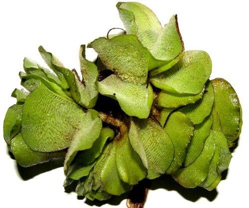 10 x b schelfarn salvina natans schwimmpflanzen gegen for Gartenteich reinigen algen