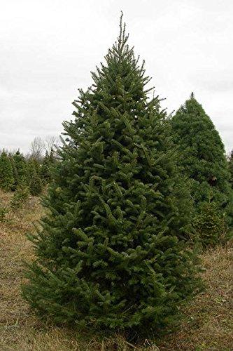 50-Balsam-Fir-Tree-Seeds-Abies-Balsamea-Cooks-Blue-Improved