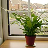I.LifeUK - Peace Lily Indoor House Plant in Pot 40-50cm Tall(including pot height)