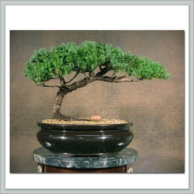 Buy Bonsai Tree Juniper