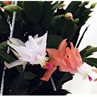 Hirt's Salmon/White Christmas Cactus Plant - Zygocactus - 6