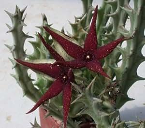 Amazon.com : Orbea Lutea Ssp Vaga, SOLD By EXOTIC CACTUS