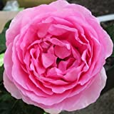 #7: ROSE MUM IN A MILLION-Ideal Gift For Mother's Day- Plants & Flower Gifts For Mum,Mom,Mother,Her,Granny,Gran,Grandma