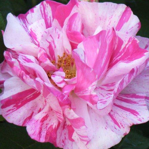 rosa-mundi-old-interesting-rose-bare-root-rose-rosa-versicolour-old-english-rose-rosa