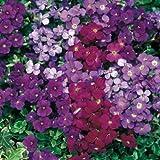 Aubrieta Royal Mix bedding plants in polystyrene box x 12. NOT PLUGS! Aubretia