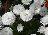 OMAXE DAISY WHITE BELLIS PERENSIS VARIETY !!SOLD BY RAUNAK SEEDS, DELHI !! !!AVG 30-50 SEEDS!! X 4 PACKETS SEEDS COMBO