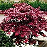Japanese Red Maple Tree (2 feet tall)