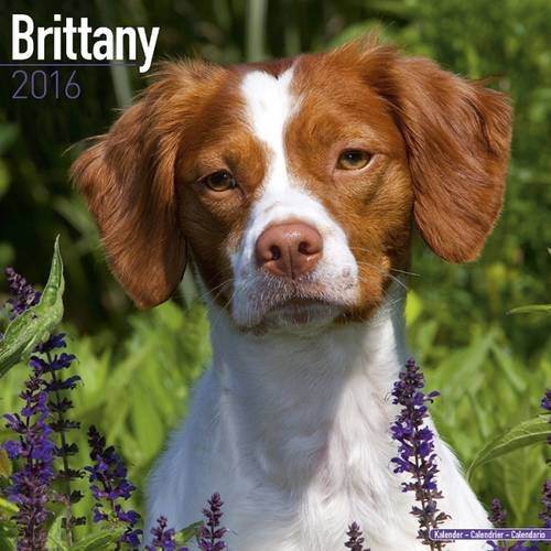 Brittany Calendar - Only Dog Breed Brittanys Calendar - 2016 Wall calendars - Brittanys Dog Calendars - Monthly Wall Calendar by Avonside