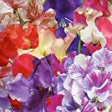 1 X PACK SWEET PEA BIG TOP FLOWER SEEDS GROWING HOME GARDEN FLOWERS