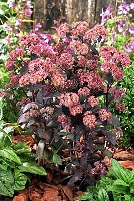 Jose Aubergine Stonecrop-Sedum-Aubergine Colored Leaves - Buy Jose Aubergine Stonecrop-Sedum-Aubergine Colored Leaves - Purchase Jose Aubergine Stonecrop-Sedum-Aubergine Colored Leaves (Hirts: Perennials; Shade, Home & Garden,Categories,Patio Lawn & Garden,Plants & Planting,Outdoor Plants,Cacti & Succulents)