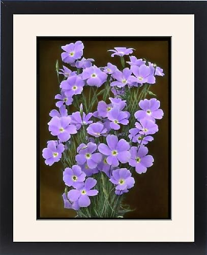 Viscaria Oculata of Viscaria Oculata Blue