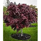 15 Seeds Japanese Maple Tree use for Bonsai or Ornamental Yard Tree