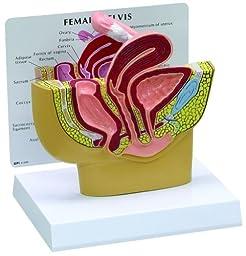 Female Pelvis Anatomical Model Professional
