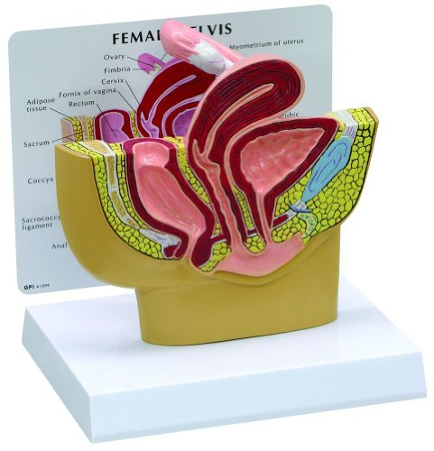 Female Pelvis Anatomical Model Professional (Uterus Model compare prices)
