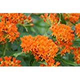 Butterfly Milkweed, Asclepias tuberosa, 50 Certified Pure Live Seed, True Native Seed