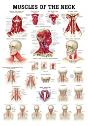 Muscles of the Neck Laminated Anatomy ChartÂ