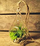 Hinterland Trading Air Plant Tillandsia Bromeliads Kit Teardrop Terrarium with Pebbles and Moss Great Little Houseplant