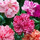 Outsidepride Carnation Chabaud Pictoee Mix - 1000 Seeds