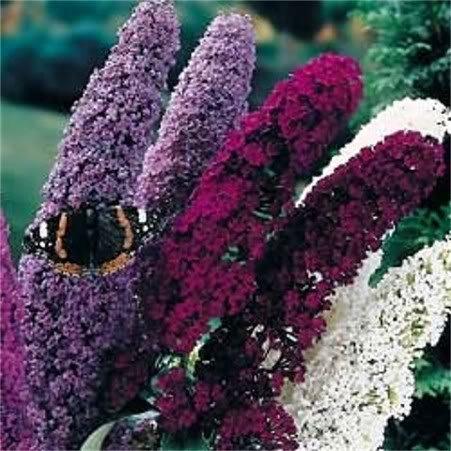 100 MIXED COLORS BUTTERFLY BUSH Buddleia Davidii Flower Shrub Seeds